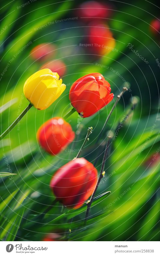 Tulpenfrühling Natur Pflanze Blume Blatt Frühling Blüte natürlich authentisch Feste & Feiern Frühlingsblume Kontrast
