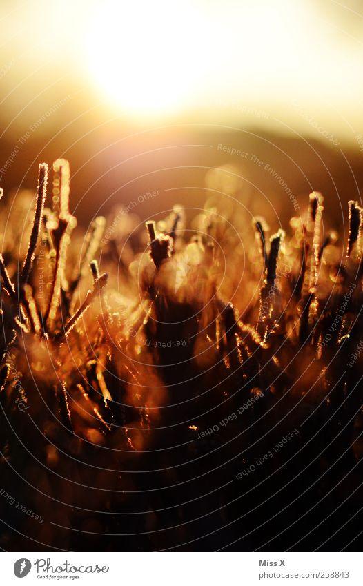 Dämmerung auf der Raureifwiese Sonnenlicht Eis Frost Pflanze Gras Sträucher glänzend kalt gefroren Farbfoto Außenaufnahme Nahaufnahme Strukturen & Formen