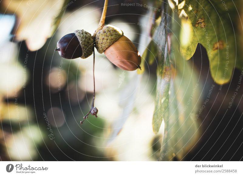 Der Herbst und seine Früchtchen VII Natur Pflanze Baum Wald Glück braun grün Vertrauen Sicherheit Schutz Geborgenheit Vorsicht Gelassenheit ruhig einzigartig