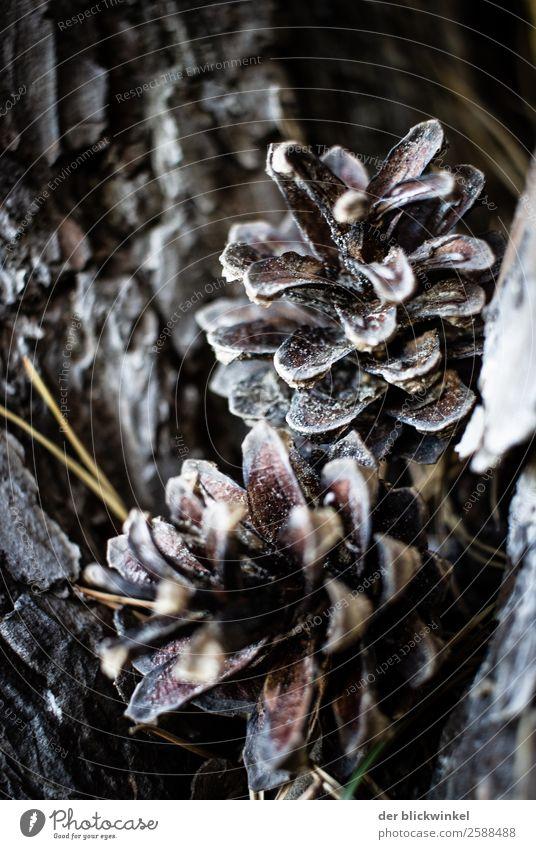 Der Herbst und seine Früchtchen XXVI Kiefernzapfen Natur Detail Nahaufnahme Ton in Ton