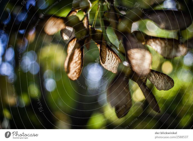 Der Herbst und seine Früchtchen XXVIII Frucht Samen Ahorn Wald Baum Natur