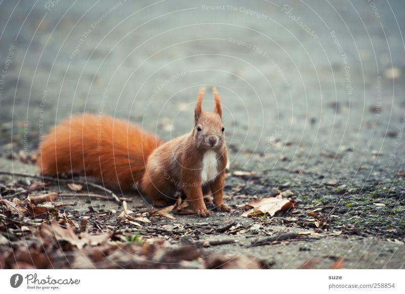 Für secret* Umwelt Natur Tier Erde Herbst Fell Wildtier 1 sitzen warten klein Neugier niedlich grau rot Interesse Eichhörnchen Nagetiere Schwanz Boden tierisch