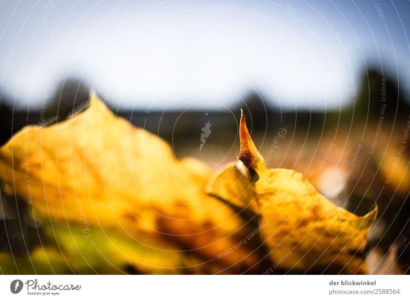 Herbstlaub IX Natur Blatt Feld Wald Gefühle Stimmung Zufriedenheit Optimismus Kraft gelb Farbfoto mehrfarbig Außenaufnahme Detailaufnahme Dämmerung Sonnenlicht