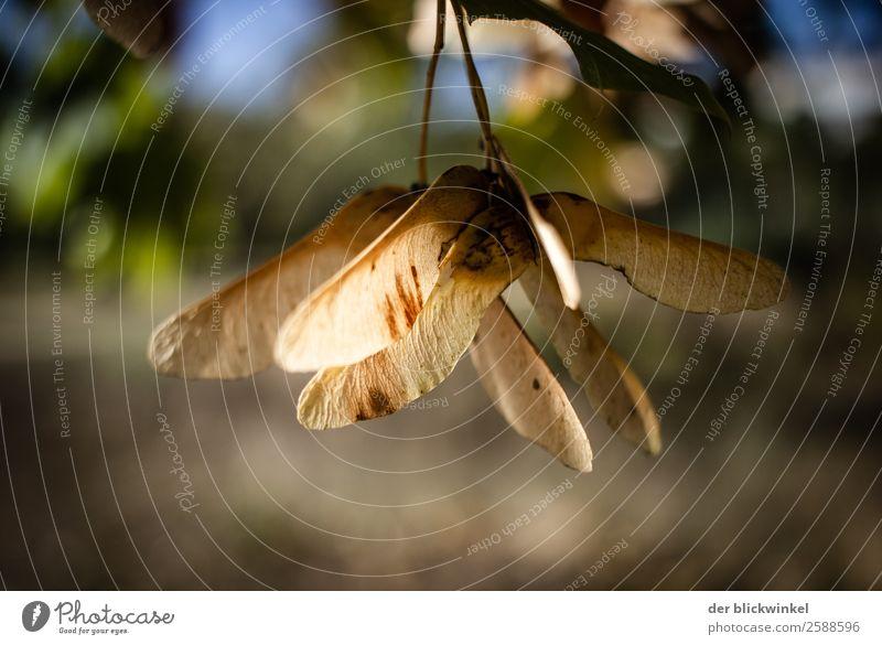 Der Herbst und seine Früchtchen XXIX Ahorn Frucht Samen Wald Baum Natur