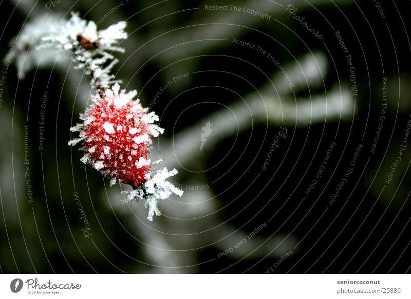 Die eiskalte Hagebutte Pflanze rot Winter Eis Ast gefroren