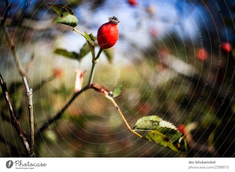 Der Herbst und seine Früchtchen XXV Hagebutten Sträucher Schwache Tiefenschärfe Scharfer Gegenstand Nahaufnahme Stimmung Natur