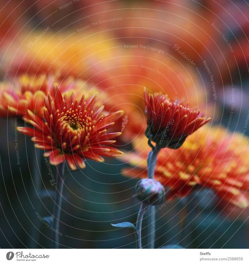 Herbstastern Natur Pflanze Blume Blüte Astern Blütenblatt Blütenstauden Gartenpflanzen Park Blühend schön grün orange Herbstgefühle Novemberstimmung Nostalgie