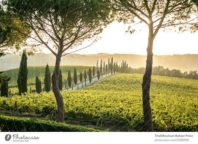 Tuscany-Dream Landschaft gelb gold grün Toskana Italien Baum Anwesen Wein Allee Zypresse Straße Wege & Pfade Sonnenuntergang Gegenlicht Stimmung Romantik