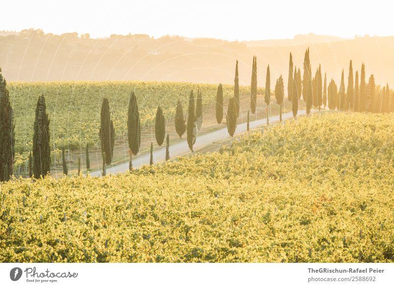 Toskana Natur Landschaft gelb gold grün Italien Allee Straße Wege & Pfade Kies Weinberg Gegenlicht Stimmung Sonnenuntergang Ferien & Urlaub & Reisen Farbfoto