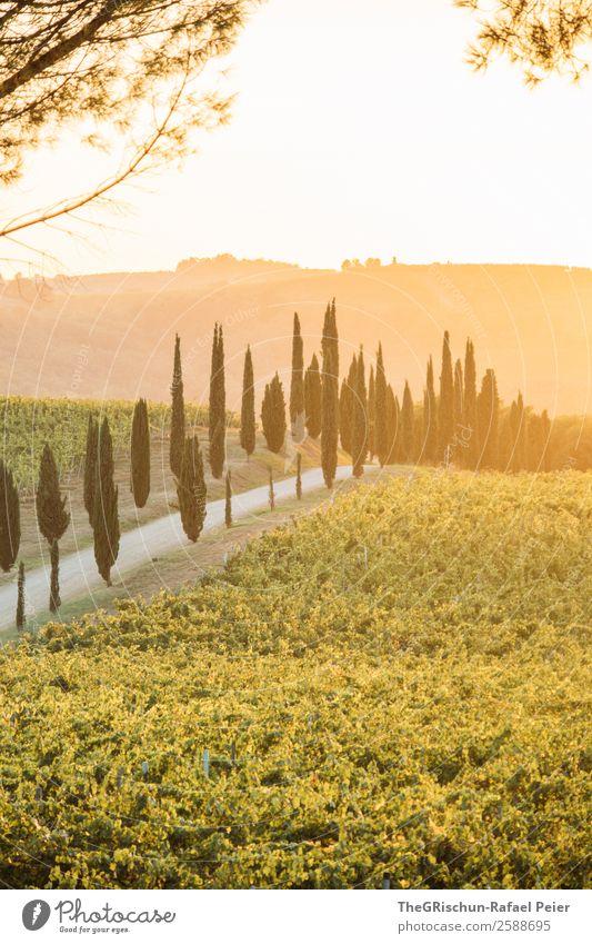 Allee Landschaft gelb gold grün Baum Zypresse Straße Wege & Pfade Wein Ast Gegenlicht Sonnenuntergang Italien Toskana genießen Aussicht Farbfoto Menschenleer