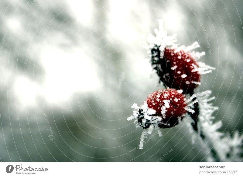 Die eiskalten Hagebutten Pflanze rot Winter Eis Ast gefroren