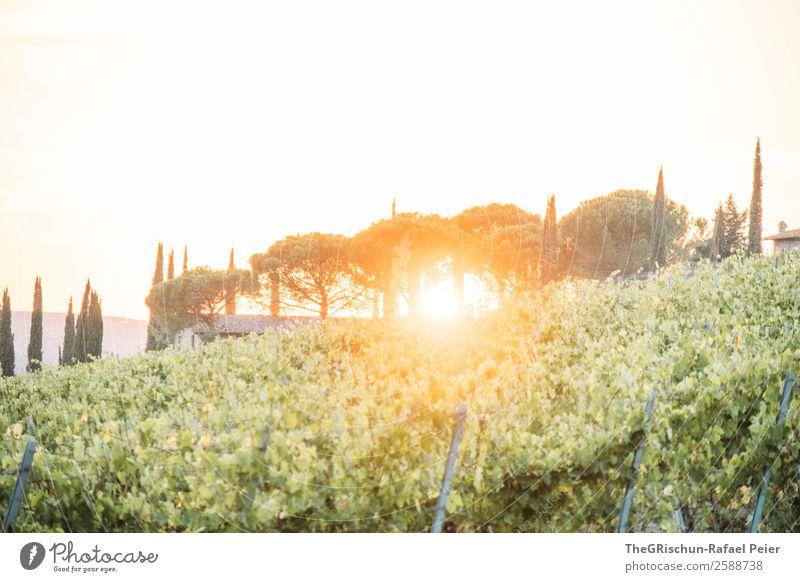 Toskana Natur Landschaft gelb gold grün Sonne Sonnenuntergang Wein Italien Sonnenstrahlen Gegenlicht Stimmung Romantik Reisefotografie Ferien & Urlaub & Reisen
