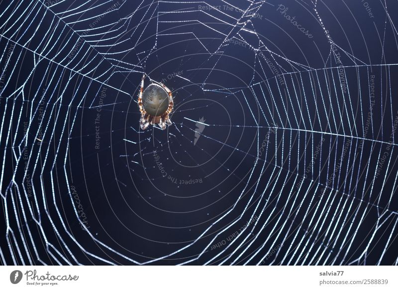 Radnetz Natur Tier Spinne Kreuzspinne außergewöhnlich 1 warten Ekel gruselig Wachsamkeit geduldig Netz Radnetzspinne Spinnennetz zerbrechlich Außenaufnahme