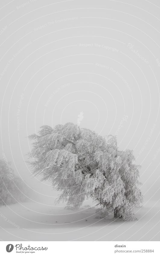 Baumloben | Winterbuchen Pt.2 Ferien & Urlaub & Reisen Tourismus Abenteuer Schnee Winterurlaub Umwelt Natur Landschaft Pflanze Himmel Wetter schlechtes Wetter