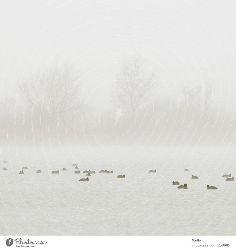 Auf See Umwelt Natur Landschaft Pflanze Wasser Himmel Nebel Baum Teich Vogel Ente Blässhuhn Tiergruppe Schwimmen & Baden Zusammensein hell klein natürlich grau