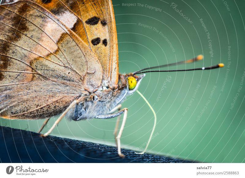 gelbe Augen Natur grün Tier braun genießen Flügel nah Insekt Schmetterling Tiergesicht Fühler Schuppen Saugrüssel