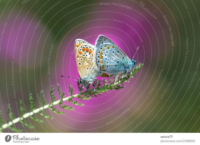 Bläulingspaar Umwelt Natur Sommer Pflanze Blatt Wildpflanze Gewöhnliche Schafgarbe Tier Schmetterling Flügel Bläulinge Insekt 2 genießen Liebe Glück Sex