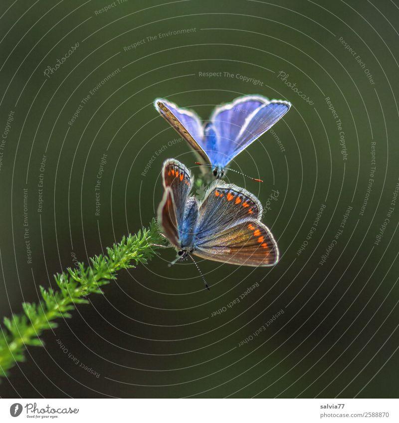 Brautwerbung Natur Sommer Pflanze Tier Blatt Frühling klein außergewöhnlich oben Tierpaar Lebensfreude Flügel Insekt Schmetterling Leichtigkeit Frühlingsgefühle