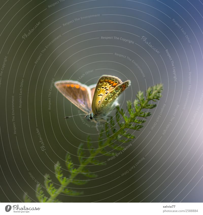 filigran Umwelt Natur Frühling Sommer Klima Pflanze Gras Blatt Gewöhnliche Schafgarbe Tier Schmetterling Flügel Insekt Bläulinge 1 genießen ästhetisch klein