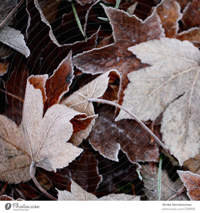 Blattwerk 1 Umwelt Natur Pflanze Winter Wetter Eis Frost Wildpflanze Herbstlaub Wiese Feld frieren liegen dehydrieren kalt nachhaltig natürlich braun Ende
