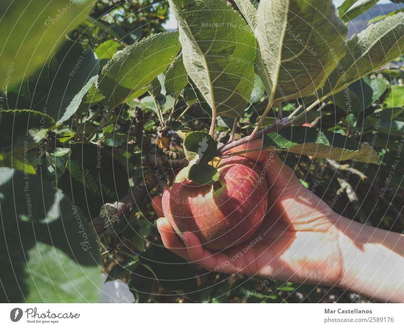 Die Hand der Frau pflückt rote Äpfel. Frucht Apfel Ernährung Gesunde Ernährung Wellness Sommer Garten feminin Erwachsene Natur Pflanze Sonnenlicht Herbst Baum