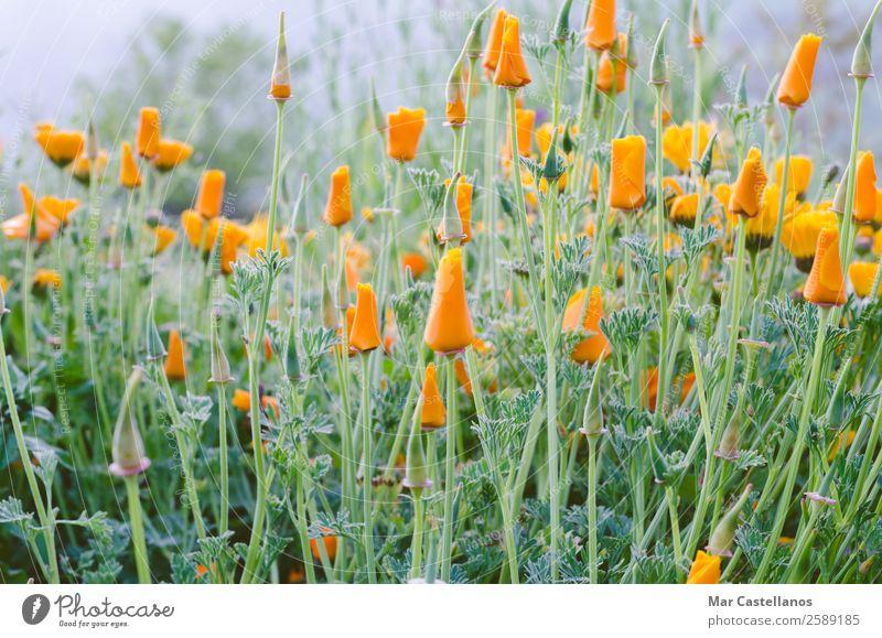 Kalifornischer Mohn schön Sommer Garten Dekoration & Verzierung Natur Pflanze Frühling Blume Gras Blüte frisch wild gelb grün orange weiß Selbstbeherrschung