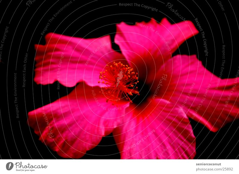 Pink Blume Blüte Dalie Makroaufnahme Blätter. Blütenblätter