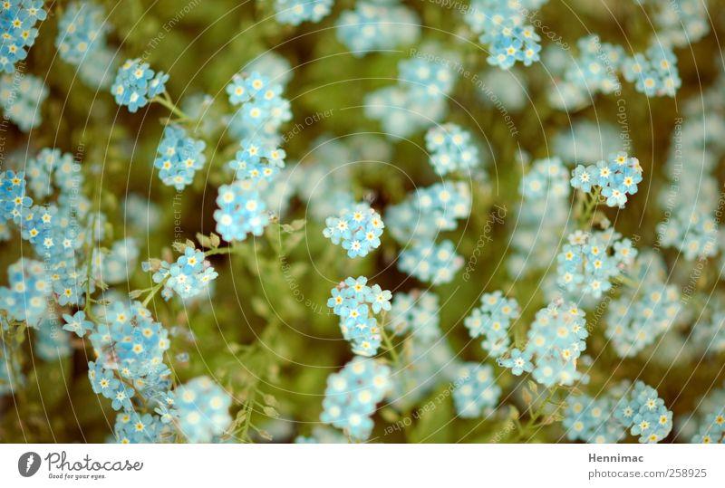 Viva Balkonia! Natur weiß Pflanze Sommer Blume gelb klein Garten Blüte Frühling frisch Wachstum niedlich Punkt Duft