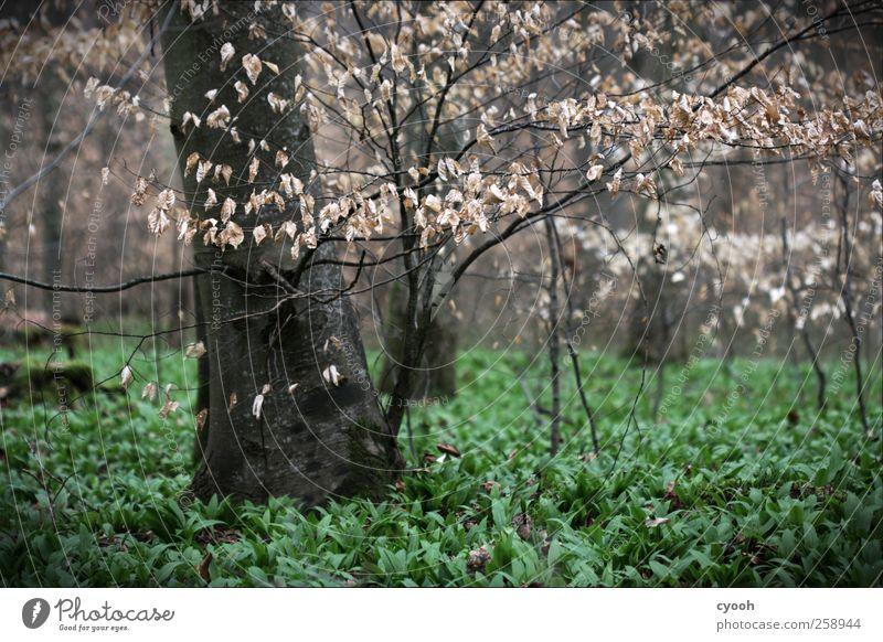 Der Geruch von Bärlauch... Frühling Baum Blatt Grünpflanze Nutzpflanze Wald dunkel Buche Waldboden grün grünen aufwachen Leben Lebenskraft Duft trist Einsamkeit