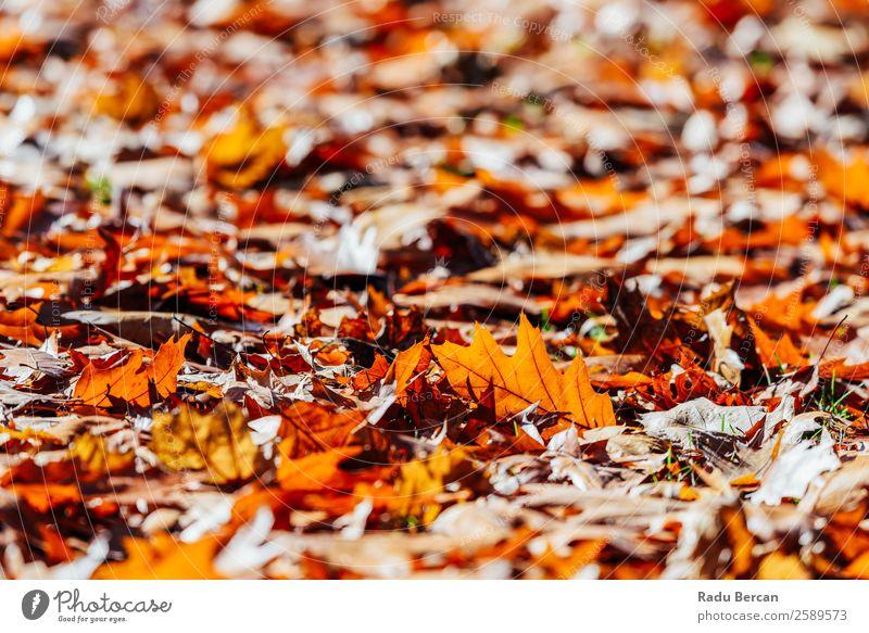 Roter Herbst hinterlässt Hintergrund in der Herbstsaison schön Garten Tapete Umwelt Natur Landschaft Pflanze Baum Blatt Park Wald hell natürlich braun gelb gold