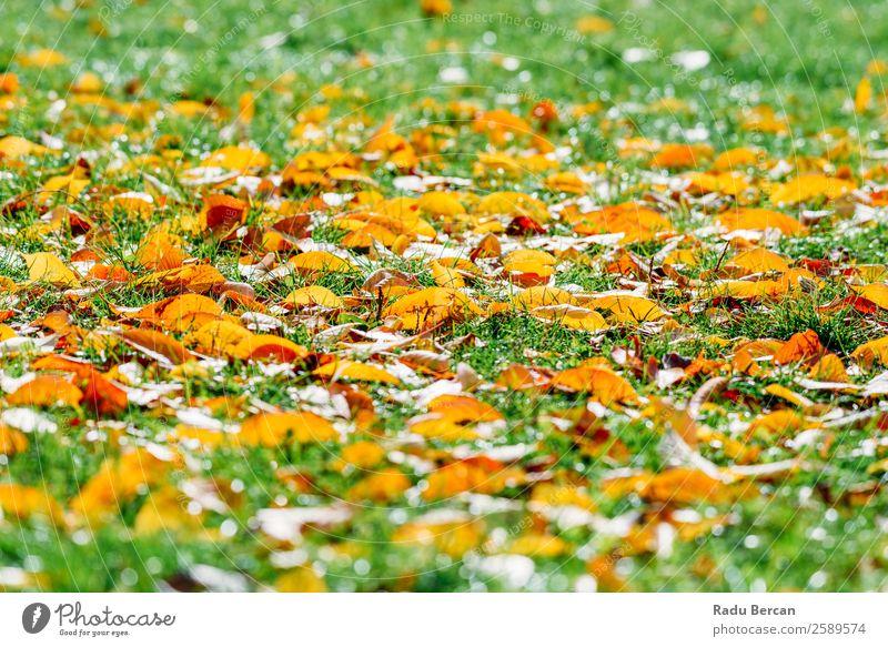 Orange und Rot Herbst Blätter in der Herbstsaison schön Garten Tapete Natur Landschaft Pflanze Baum Gras Blatt Park Wald hell natürlich braun gelb gold grün rot