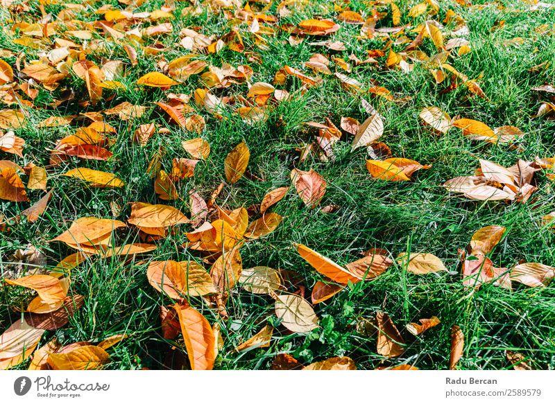 Orange und Rot Herbst Blätter in der Herbstsaison schön Garten Tapete Umwelt Natur Landschaft Pflanze Baum Gras Blatt Park Wald hell natürlich braun gelb gold