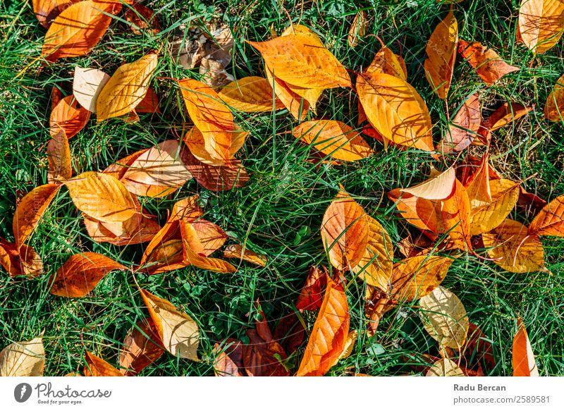 Orange und Rot Herbst Blätter in der Herbstsaison Garten Umwelt Natur Landschaft Pflanze Baum Gras Blatt Park Wald hell natürlich braun gelb gold grün rot Farbe