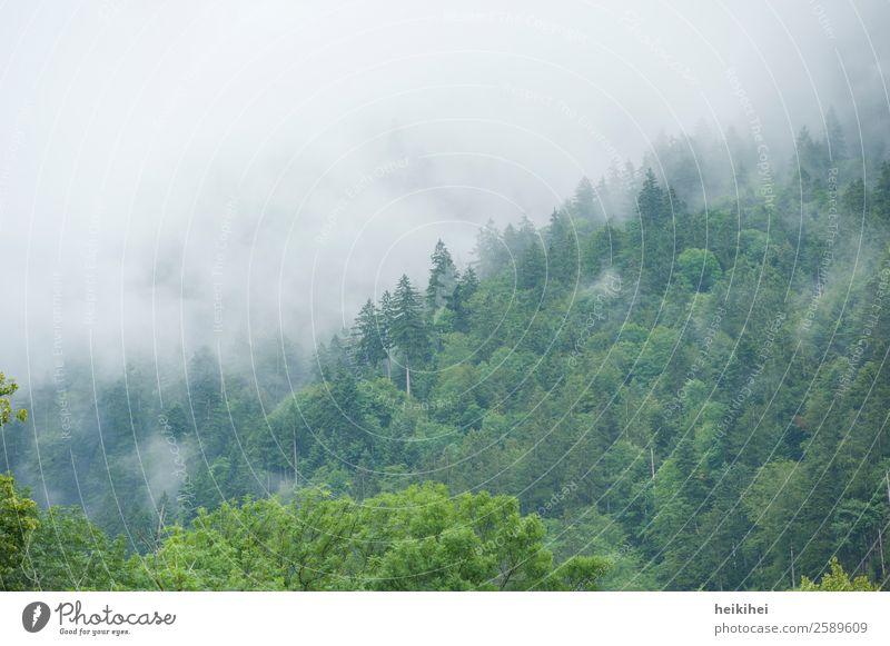 Herbststimmung im Schwarzwald Wald Nebel Nebelschleier Nebelstimmung Nebelwald Außenaufnahme Natur Menschenleer Landschaft Baum Farbfoto dunkel Pflanze Tag