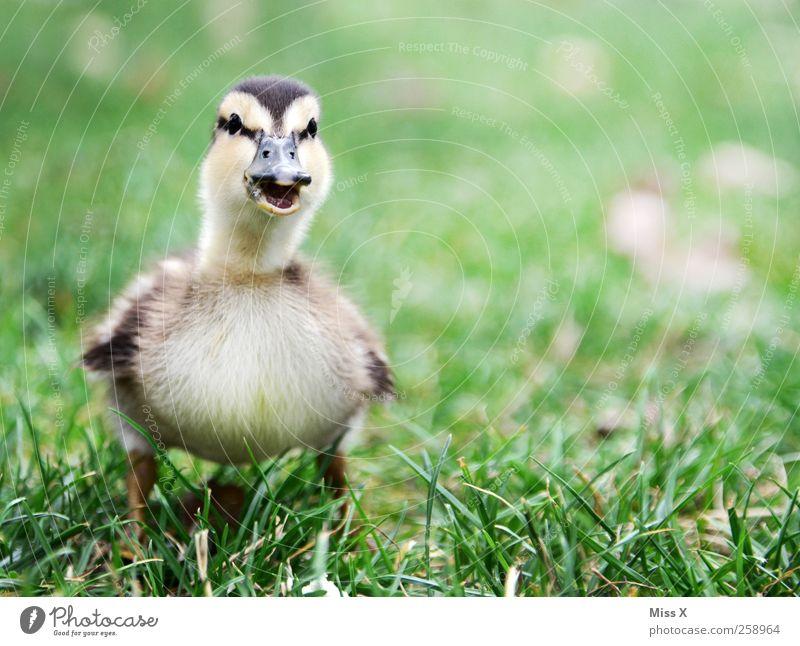 Mama? Tier Gras Wiese Vogel 1 Tierjunges schreien kuschlig klein Neugier niedlich Entenküken Küken Quaken schnattern Farbfoto Außenaufnahme Nahaufnahme
