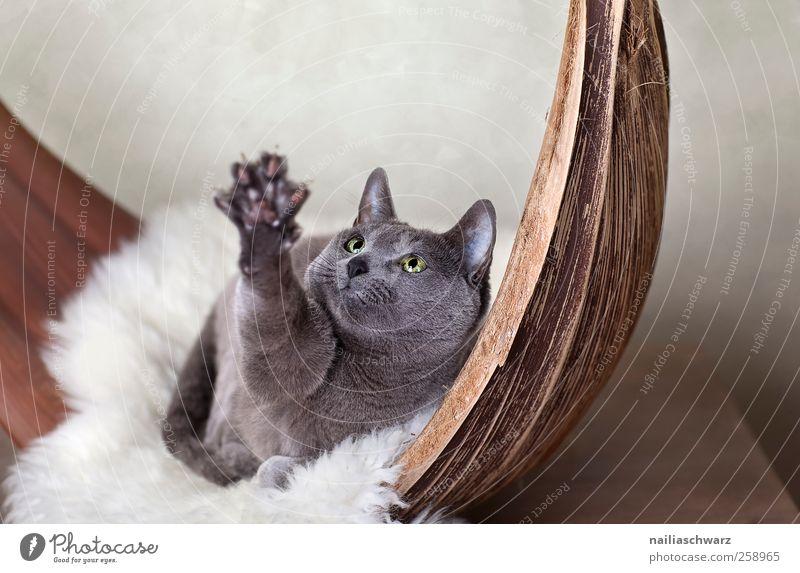 Gib! Baumrinde Tier Haustier Katze russisch blau Pfote Krallen 1 Schalen & Schüsseln Schaffell Holz beobachten Bewegung fangen liegen Blick Spielen kuschlig