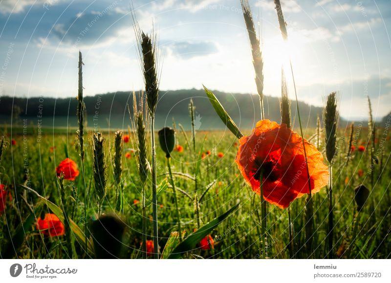 Klatschmohn Umwelt Natur Landschaft Pflanze Himmel Wolken Sonne Sonnenaufgang Sonnenuntergang Sommer Schönes Wetter Blume Gras Nutzpflanze Feld Blühend verblüht