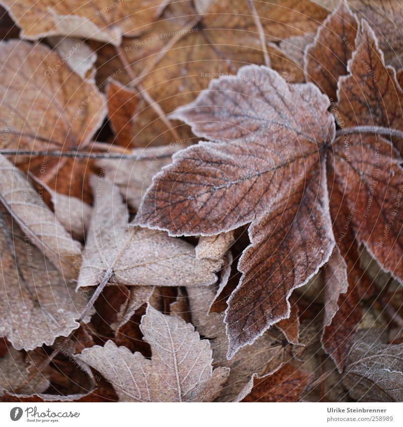 Blattwerk 2 Natur Pflanze Winter Umwelt Wiese kalt braun Eis Wetter Feld liegen natürlich glänzend Frost Wandel & Veränderung