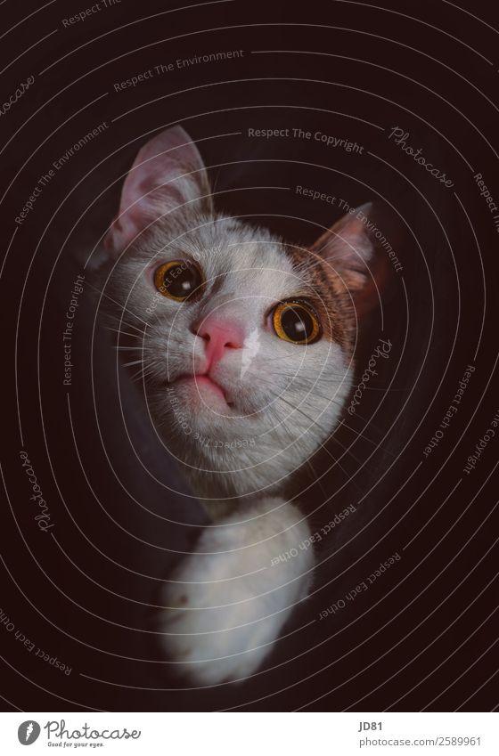 Aus dem Dunkeln Haustier Katze Tiergesicht 1 beobachten entdecken Spielen dunkel frech Neugier niedlich positiv klug schwarz weiß Lebensfreude Mut Tierliebe