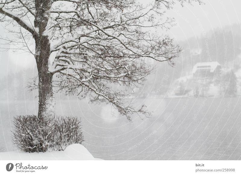 Baumloben   Einstimmung amTitisee Natur weiß Baum Pflanze Winter Haus kalt Schnee Umwelt grau Schneefall See Wetter Eis Nebel natürlich