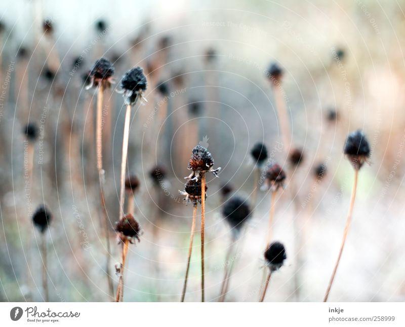 bonjour tristesse Pflanze Herbst Winter Blume Samen Stengel Blütenstempel Blütenstiel Garten Park stehen dehydrieren dünn kalt lang trocken viele braun schwarz