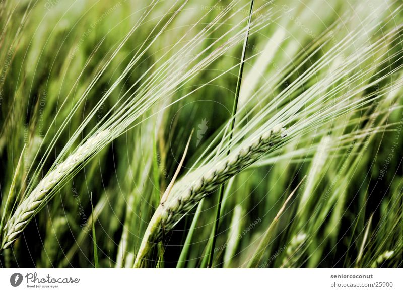 Müsli Vorstufe Pflanze Korn Weizen