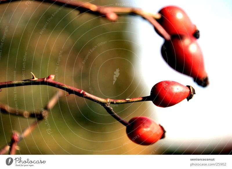 Die Hagebuten Pflanze Frucht Ast Tee Dorn Waldrand