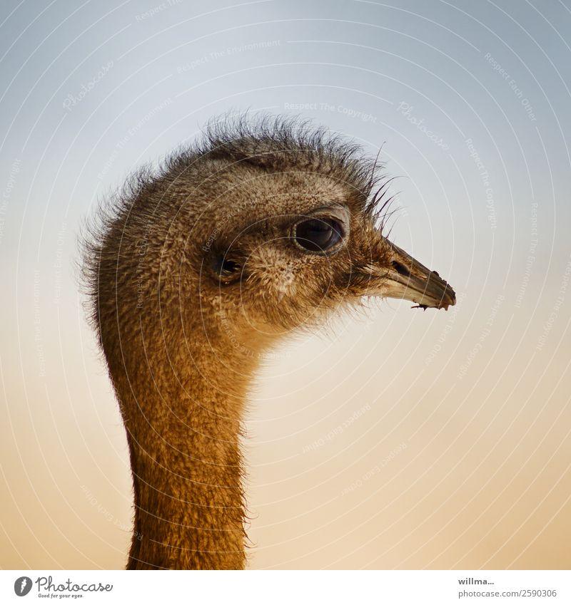 porträt eines nandus, frisch frisiert Tier Wildtier Nandu Laufvogel Kopf Tierporträt Profil Schnabel exotisch Hintergrund neutral Strauß Vogel Emu