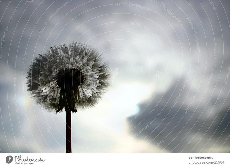 Blow Löwenzahn Wolken Pflanze Blume Wassertropfen Samen Himmel Tau.