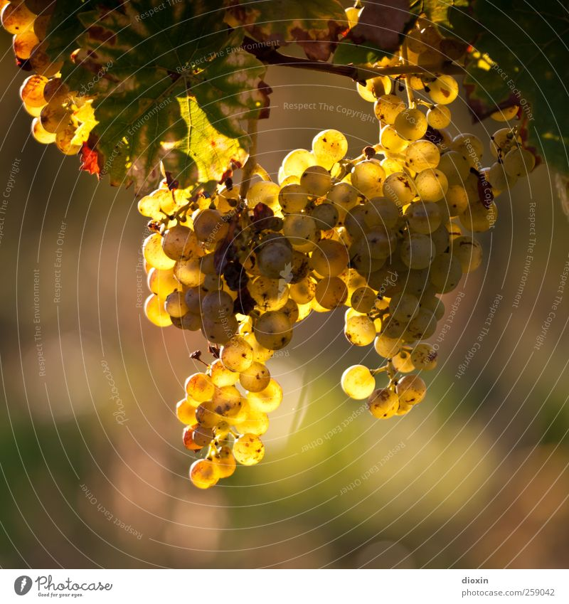 Wine In The Afternoon Natur Pflanze Blatt Umwelt Herbst Feld Wachstum leuchten Klima Schönes Wetter süß Landwirtschaft Wein lecker Wein reif