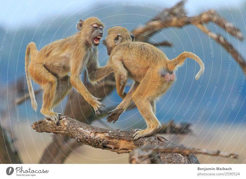 Grüne Meerkatzen am kämpfen auf einem Ast Natur Tier Wildtier Vervet Monkey 2 gold Ärger Aggression Gewalt Überleben Wut Farbfoto Außenaufnahme Morgen