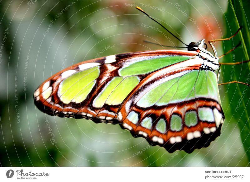 Imago grün Pflanze Beine Flügel Schmetterling Fühler grell