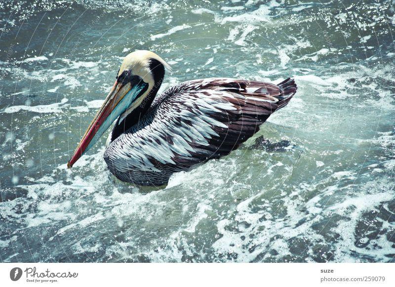 Pelikan* Umwelt Natur Urelemente Wasser Sommer Klima Schönes Wetter Tier Wildtier Vogel 1 außergewöhnlich exotisch fantastisch Wasseroberfläche Wellengang