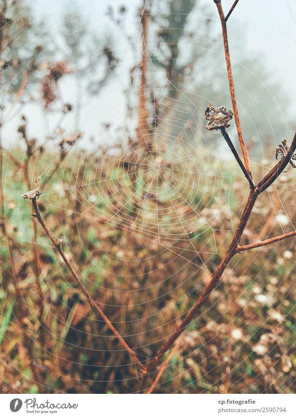 Traumfänger Natur Pflanze Wassertropfen Herbst schlechtes Wetter Nebel Gras Wildpflanze Garten Wiese natürlich braun grün Spinnennetz Korbblütler welk Farbfoto